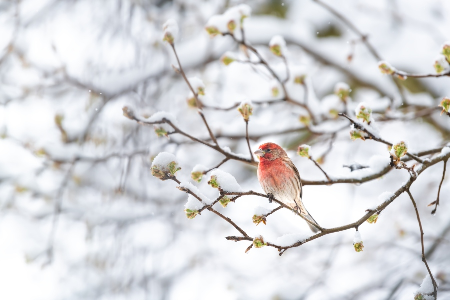 house finch spring buds snow
