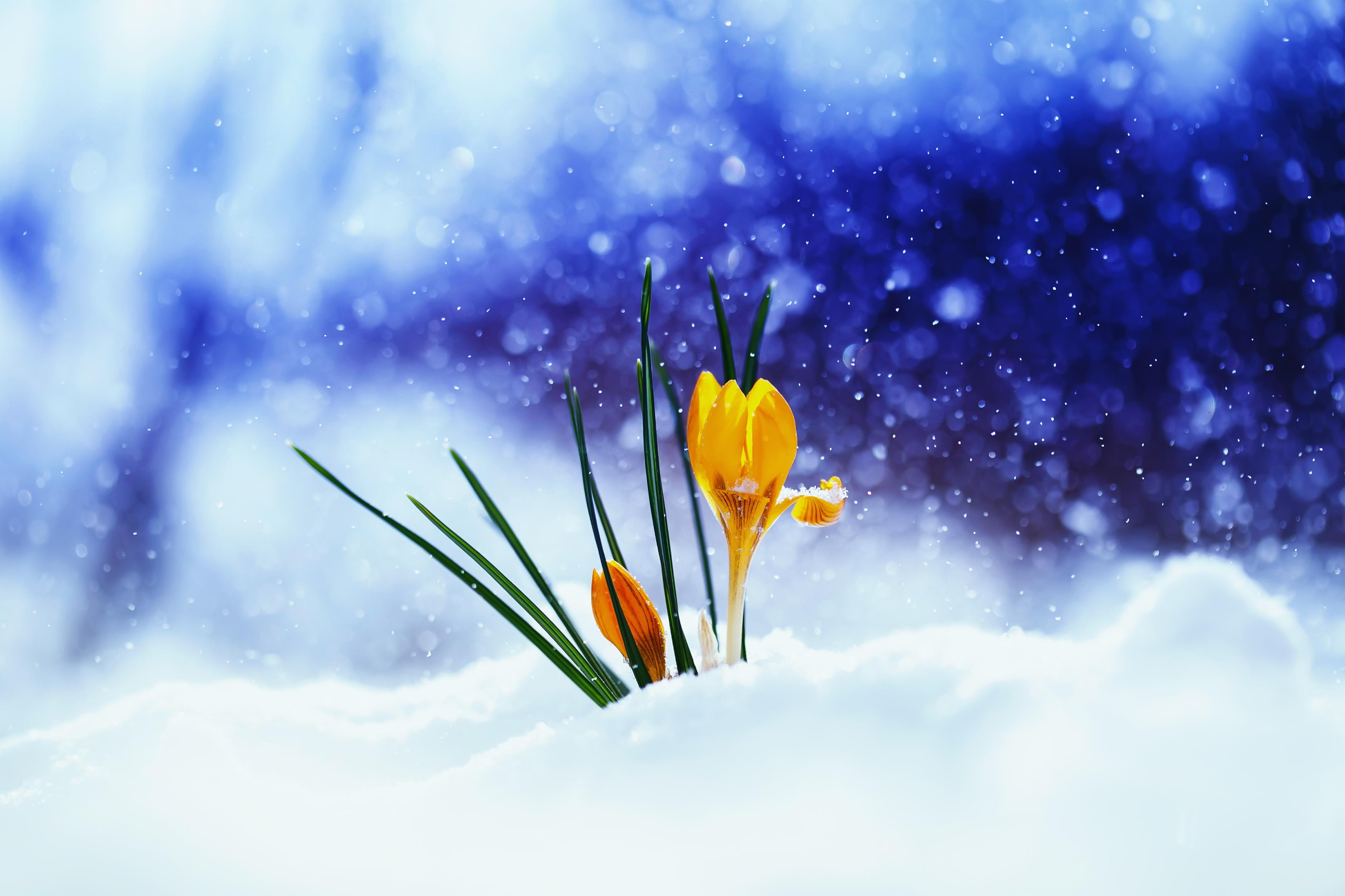 spring crocus snow