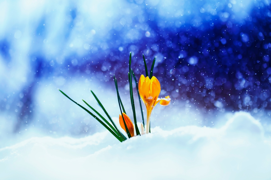 spring crocus snow